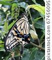剛出現的燕尾蝴蝶 67456095