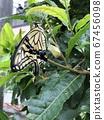 剛出現的燕尾蝴蝶 67456098