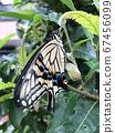 剛出現的燕尾蝴蝶 67456099