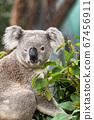 Funny koala animal winking blinking cute wink at camera at Sydney Zoo in Australia. Australia wildlife animals 67456911