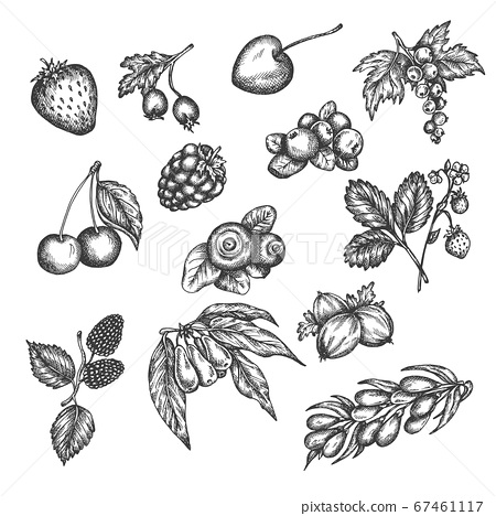 Berry hand drawn vector set. Sketch of fruits Vector illustration. Berries engraving Gooseberry, raspberry, strawberry, blackberry and cherry in vintage style Design for menu, farm market poster 67461117