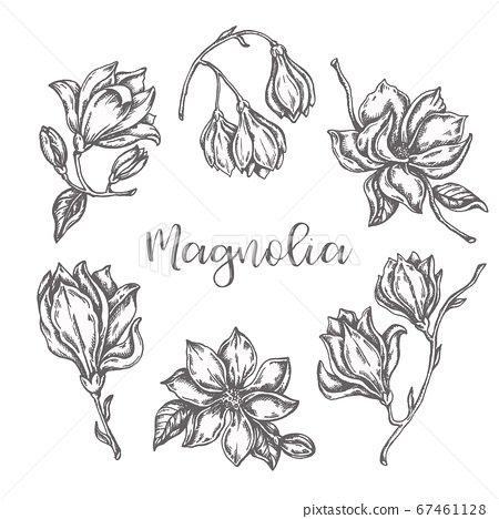 Magnolia flowers drawing Ink hand drawn set Floral sketch Vector illustation with flower isolated on white 67461128