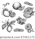 Vector hand drawn lime or lemon set. Blossom plant with leaves Sliced lemons sketch Lemon isotated on white background Illustration for lemonade Vintage retro style drawing for tea, juice, cosmetics 67461172