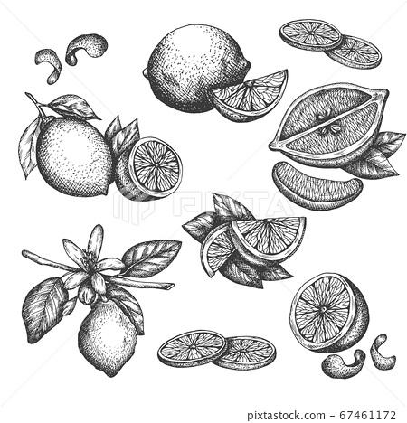 Vector hand drawn lime or lemon set. Blossom plant with leaves Sliced lemons sketch Lemon isotated on white background Illustration for lemonade Vintage retro style drawing for tea, juice, cosmetics 67461172