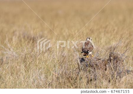 common kestrel or eurasian kestrel or falco tinnunculus perched at tal chhapar sanctuary rajasthan india 67467155