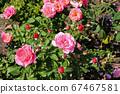 Wonderful Beautiful Pink Rose Flowers 67467581