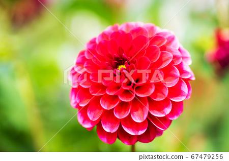 빨간 달리아 꽃 67479256