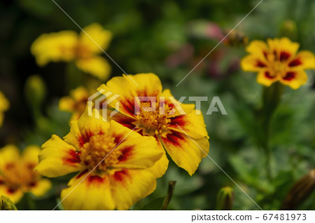 Close up shot of Zinnia Angustifolia 67481973