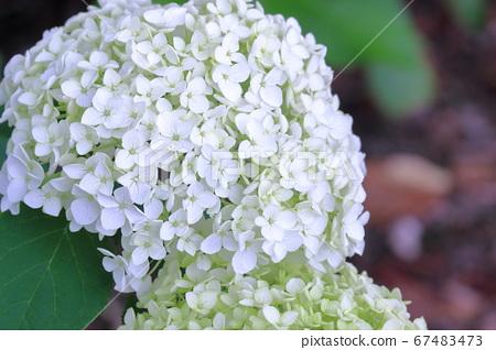 帶有白色花朵和大手形繡球的Anabel(高知縣野市繡球高速公路) 67483473