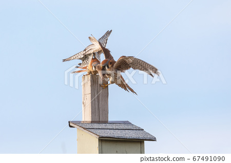 american kestrel bird 67491090
