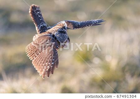 Northern Hawk owl 67491304