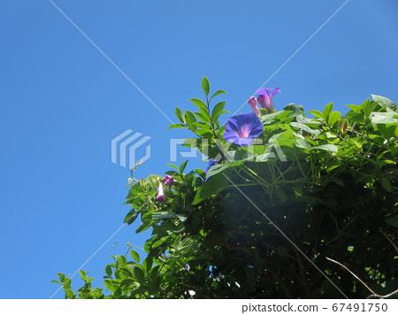 미나미 큐슈! 장마의 맑은 하늘의 푸른 하늘에 빛나는 꽃! 67491750