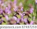 Violet Flowers Of Lamium Purpureum In Summer Field Meadow Witn Blurred Background In Front 67497259