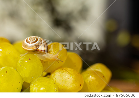 Close-up of a small snail crawling over grapes 67505030