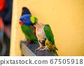 Mating games Rainbow Lorikeet. A faded parrot 67505918