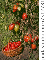 Tomato red pear. Pear-shaped red tomatoes 67512781