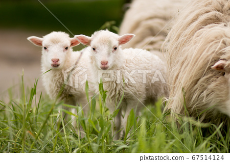 sheep twins mammal animal young farm lamp rural 67514124
