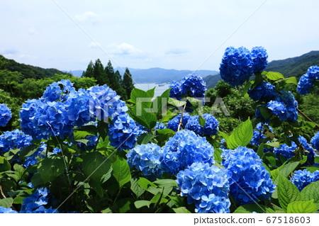 푸른 수국과 舞鶴湾 67518603