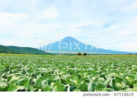 양배추 밭과 후지산 67518629
