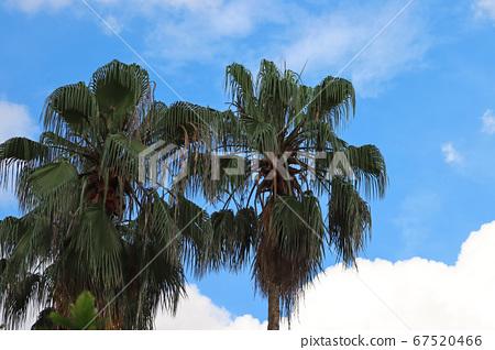 晴天下的棕梠樹 67520466