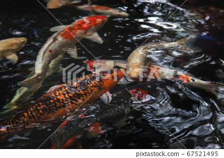 koi crap fish is famous pet of Japanese lover and 67521495