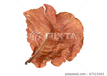 Dry leaf isolated on white background 67523081