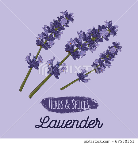 Hand Drawn Colorful Herbs and Spices Lavender Flower 67530353