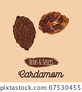 Hand Drawn Colorful Herbs and Spices Cardamom 67530455