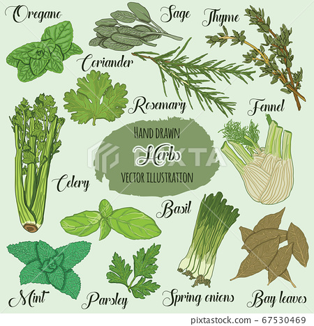 Hand Drawn Colorful Culinary Herbs 67530469
