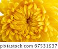 yellow chrysanthemum isolated 67531937