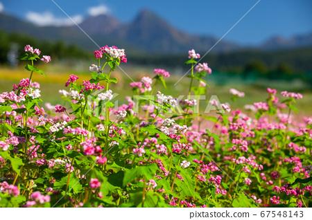 가을의 푸른 하늘 타케와 만개 한 붉은 메밀꽃 4 67548143