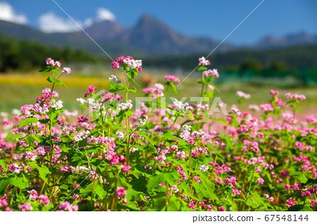 가을의 푸른 하늘 타케와 만개 한 붉은 메밀꽃 5 67548144