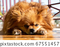 Small dog lying - sorrowful expression. Face of tired dog. 67551457