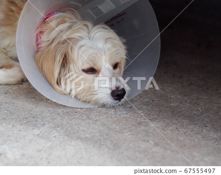 little cute long hair puppy dog portraits playing outdoor wearing semi transparent sick dog protective collar making sad face  67555497