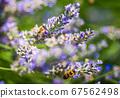 European honey bee, Apis mellifera on a lavender 67562498