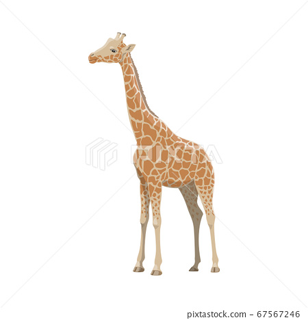 Giraffe, African safari zoo and hunt wild animal 67567246