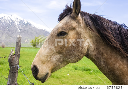 Side view of a brown horse with black mane against 67568254