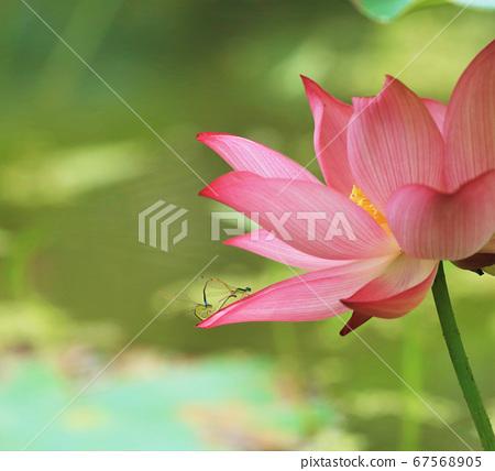 더운 연밭 꽃그늘에서 나누는 실잠자리의 사랑 67568905