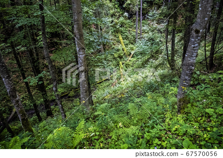 Primeval forest, Muran plain, Slovakia, seasonal 67570056
