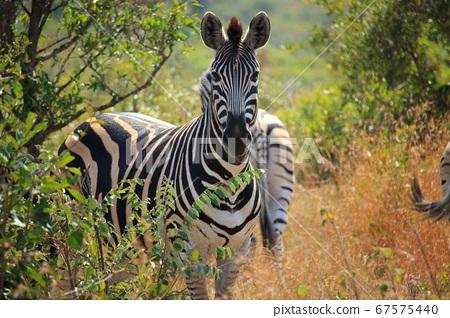 非洲克魯格國家公園野生斑馬 67575440