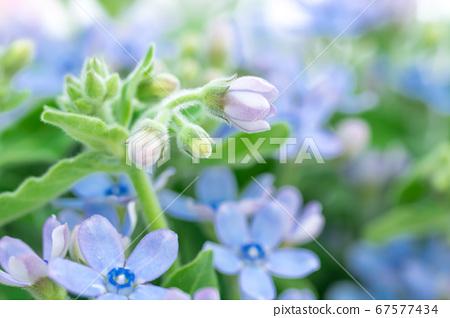 蓝色小花,蓝色星 67577434