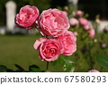 Rose flowers on a rose bush  67580293