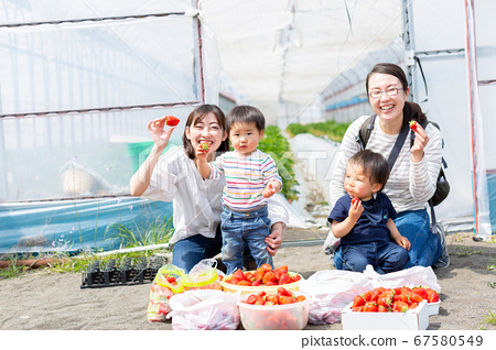 Strawberry picking with family Infant strawberry picking 67580549