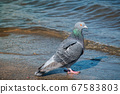 Dove photography near waterfront. Wildlife of grey 67583803