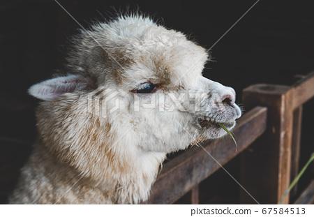 White Alpaca in farm's stables. 67584513