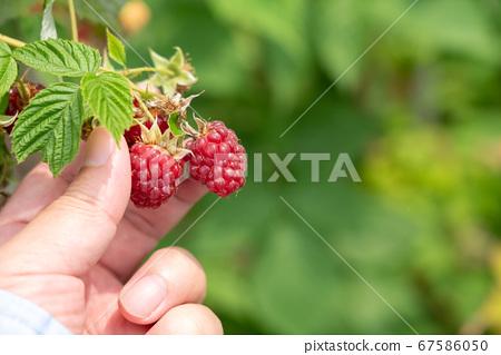 빨간 딸기 재배 · 수확 (6 월) 텃밭 67586050