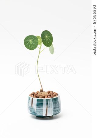 Stephania erecta 67596893