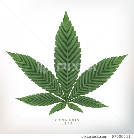 Vector Realistic Cannabis Leaf Illustration in Gray Background. 67600311