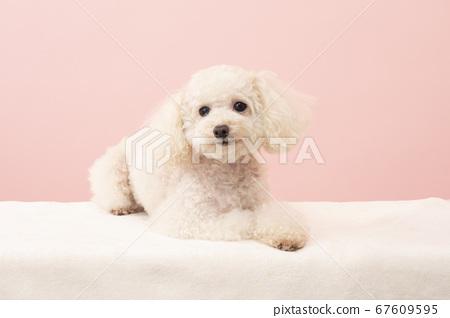 微笑的白色玩具貴賓犬 67609595