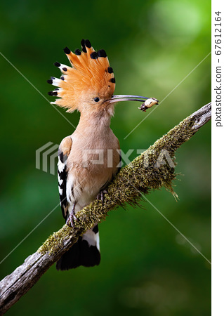 Eurasian hoopoe sitting on bough with moss. 67612164